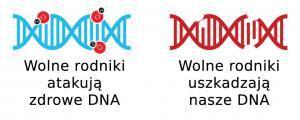 Wolne rodniki - DNA
